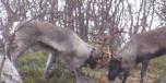 reindeerphoto